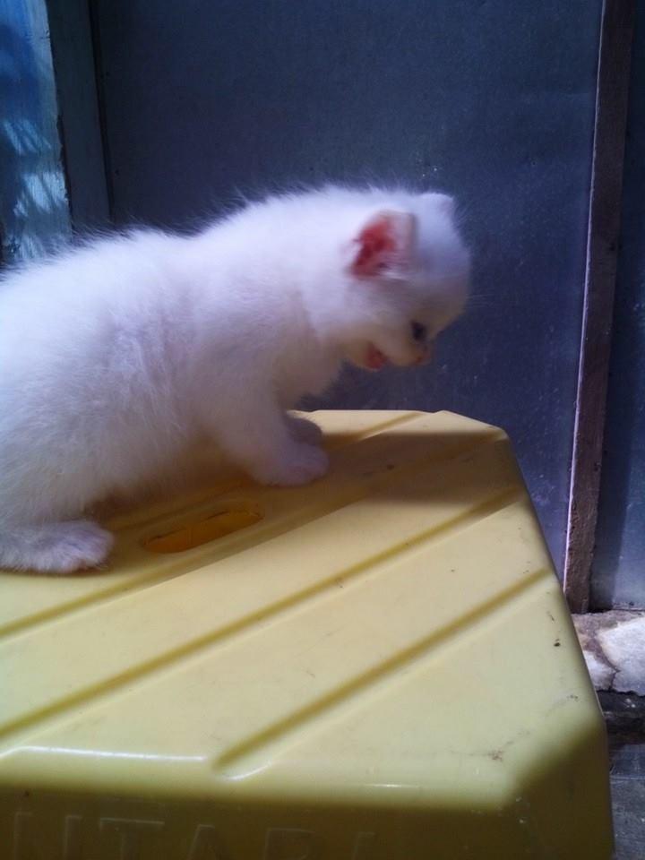 Harga Kucing Kucing Anggora Kucing Anggora Persia Jual